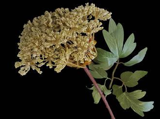 Queen Anne's Lace Stem – Silk Flowers