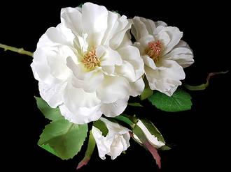 Garden Roses - 2 colours