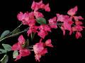 Bougainvillea Stem – Silk Flowers