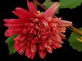 Dahlia - Rustic Pink - Silk Flowers