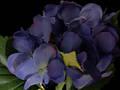 Hydrangea – Blue Purple