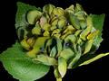Hydrangea – Dark Green