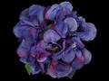 Hydrangea – Dark Royal Blue