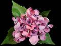 Hydrangea – Lavender Pink