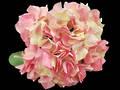 Hydrangea - Pink White