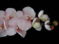 Phalaenopsis Orchid Soft Pink