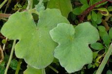 herbs 05a-230x153