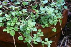herbs 06a-230x153