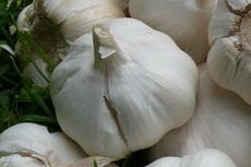 Garlic 01-230x153