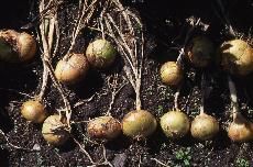 onions 03-496