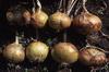 onions 04-100x66