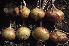 onions 04-230x153