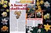 host daffodils-100x66