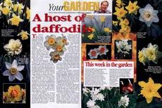 host daffodils-230x153