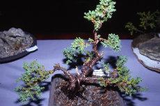 bonsai 001-230x153