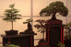 bonsai 018-230x153