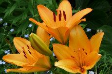 LA Hybrid Lily 01-230x153