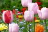 tulip 25-100x66