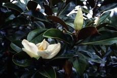 Magnolia grandiflora 006-230x153