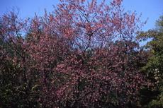 Prunus Cherry 052-230x153