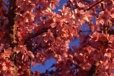 Prunus Taiwan Cherry 053-230x153