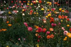 Cut Flowers 003-230x153