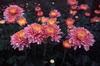Cut Flowers 059-100x66
