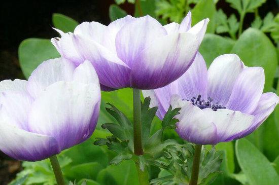 anemone 10-550x365