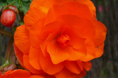 tuberous begonia 02-748