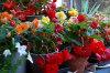 tuberous begonia 10-100x66
