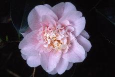Camellia japonica 043-230x153