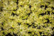 chrysanthemum 030-230x153
