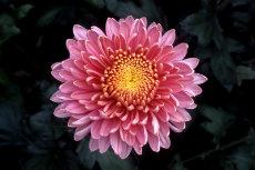 chrysanthemum 051-230x153