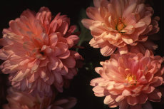 chrysanthemum 075-230x153
