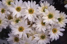 chrysanthemum 081-230x153