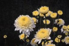 chrysanthemum 085-230X153