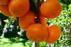 manderine 02-230x153