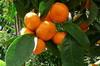 manderine 03-100x66