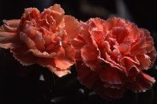 Dianthus Carnation 010-230x153