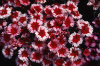 Dianthus Chinensis 001-100x66