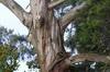 eucalyptus 07-100x66