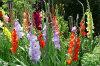 gladioli 14-100x66