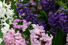 hyacinth 23-199