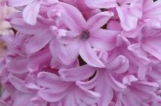 hyacinth 35-319