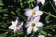Ipheion06-230x153
