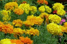 marigold 07-761