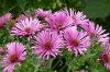 michaelmus daisy 01-100x66