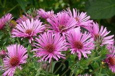 michaelmus daisy 01-230x153