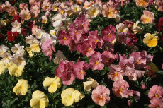 Pansy 04-230x153