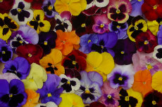 Pansy 12-230x153